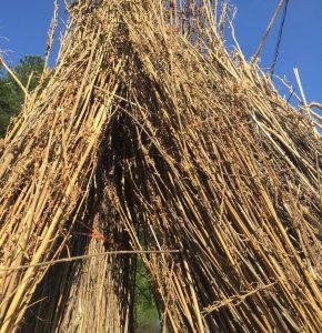 hemp stalk