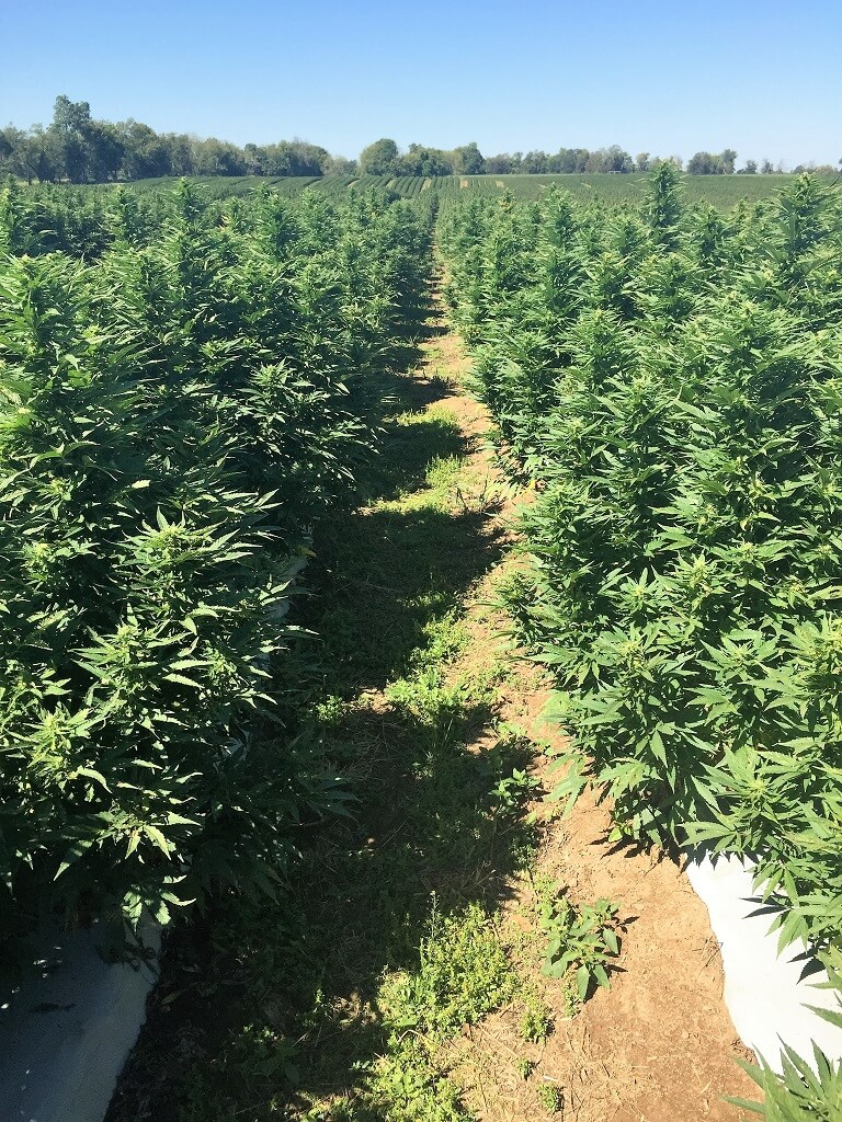 CBD Field grown from clones with drip irrigation