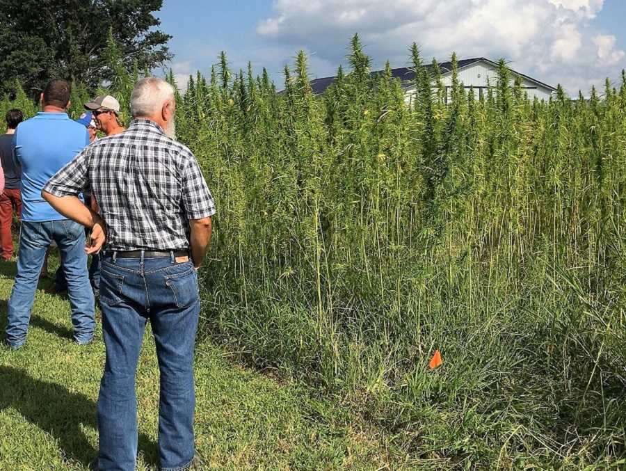 Murray State University Hemp Field