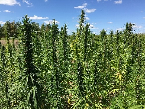 hemp field at Purdue University